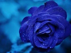 rosa-01-1024x766