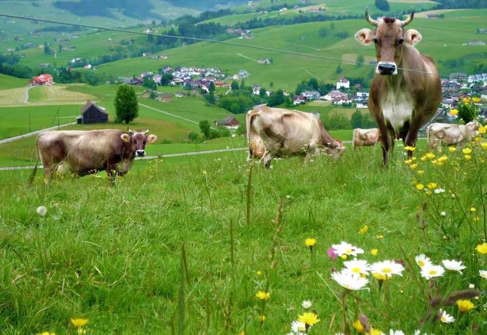 Păşune-vaci-văcuţe