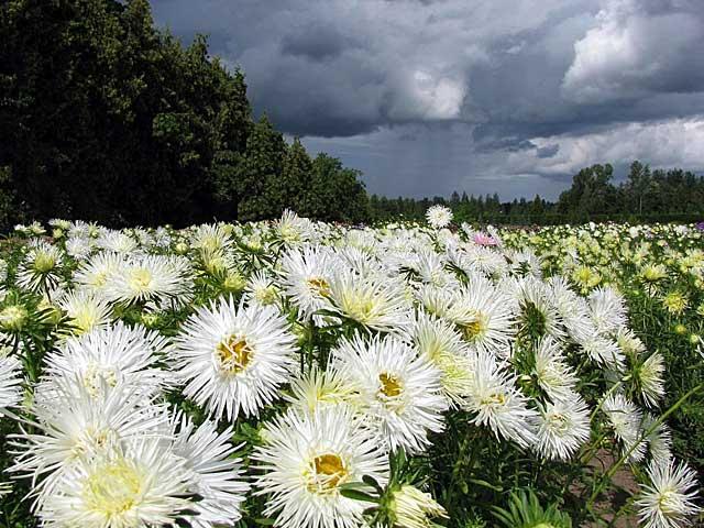 flori-de-gradina-ochiul-boului-Callistephus-chinensis-15