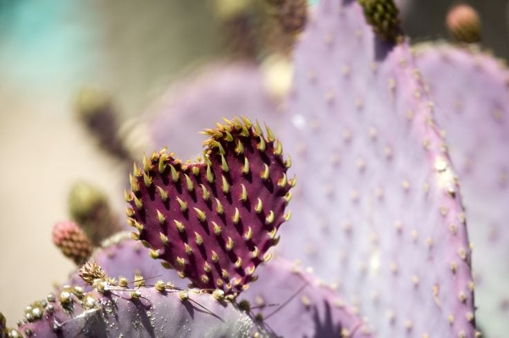 Heart shaped Prickly Pear cactus