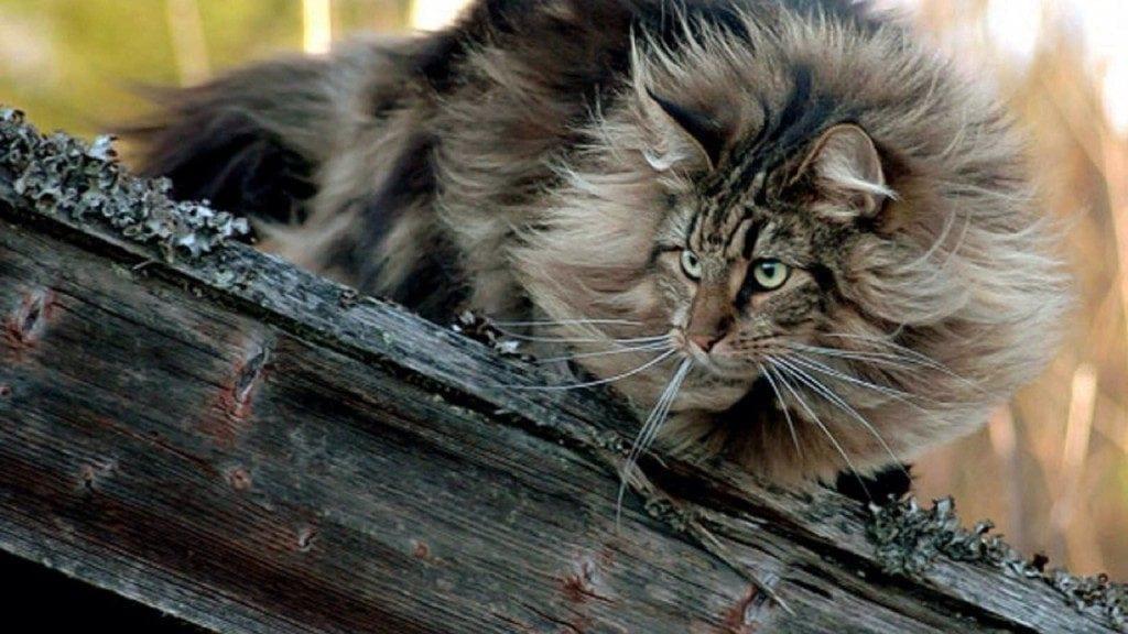 norwegian-forest-cat-1024x576