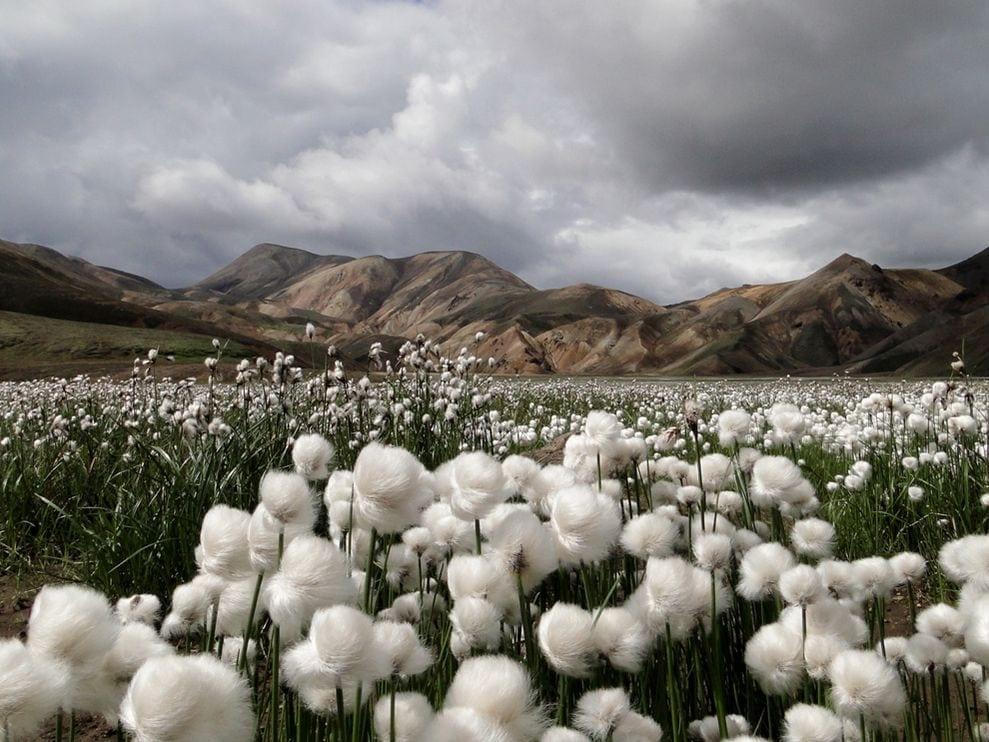 cotton-grass-iceland
