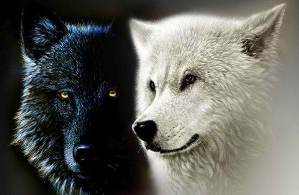 lup-alb-lup-negru