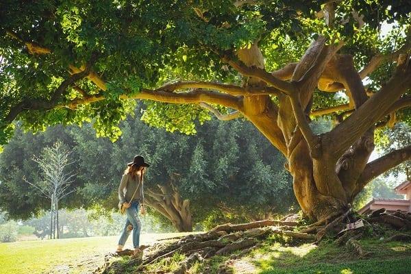 Cariul din stejar