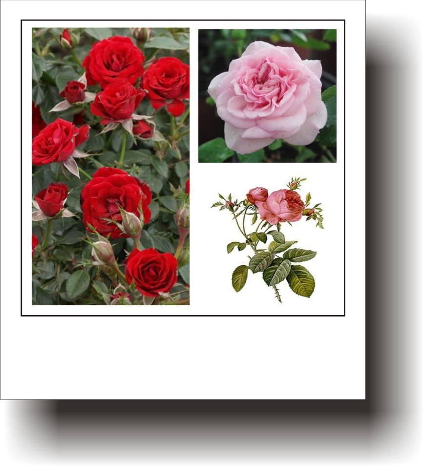 trandafir