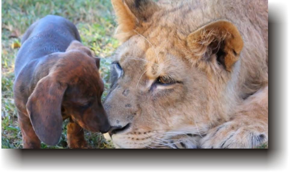 cățelușul și leul