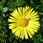 plantain leaved leopards bane 3370171 960 720