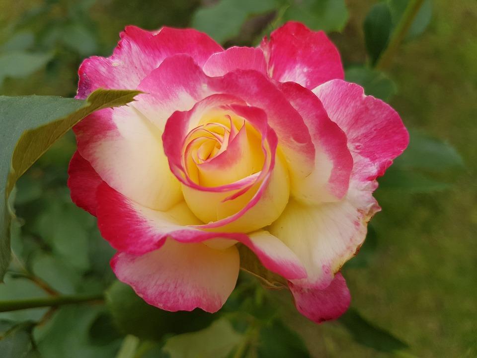 rose 2463858 960 720