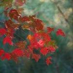 maple leaves 62759 960 720